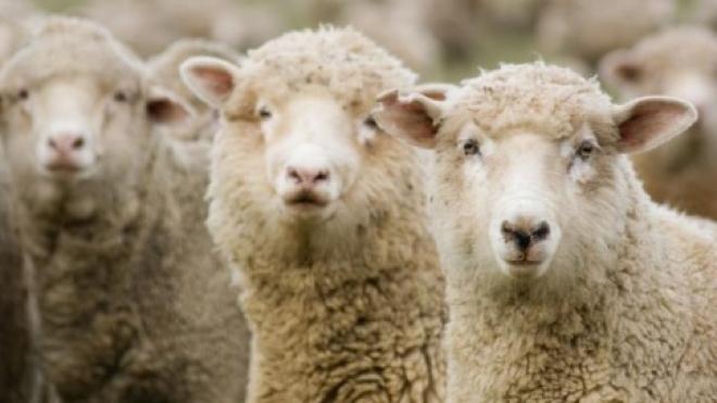 В Марий Эл обнаружено бешенство у овец