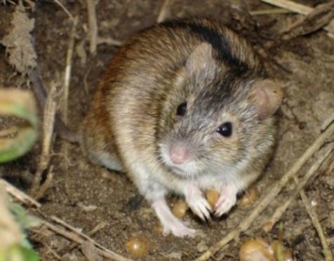 В Марий Эл наблюдается всплеск заболеваемости мышиной лихорадкой