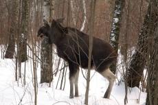 В Новоторъяльском районе браконьер застрелил лося