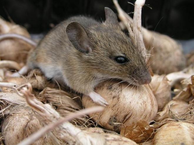 В Марий Эл каждая третья мышь заражена вирусом «мышиной лихорадки»