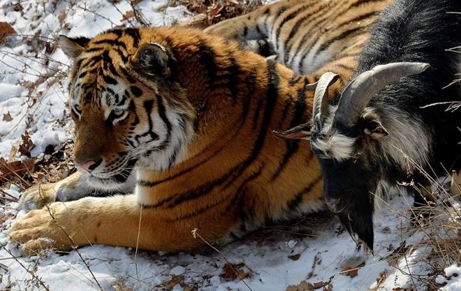 В Приморском сафари-парке дружат тигр с козлом, в Новосибирском зоопарке — бородач с зайцем