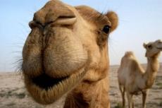 Верблюды могут оказаться переносчиками смертельной инфекции