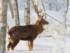В Марий Эл Land Cruiser сбил пятнистого оленя