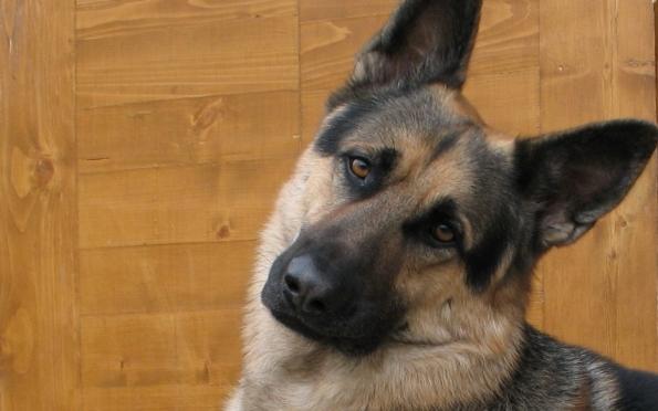 Служебная собака помогла раскрыть кражу