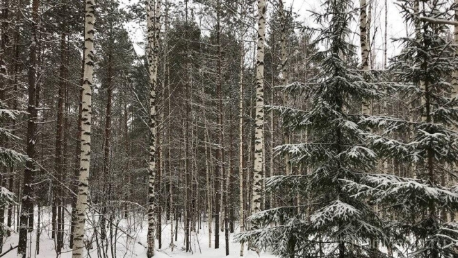 За две недели выявлено три факта незаконных рубок деревьев