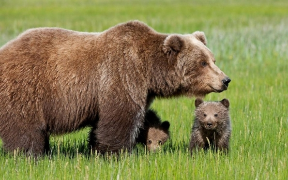 Медведица с медвежатами напала на жительницу Волжска
