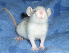 Декоративные крысы Марий Эл готовятся покорить Казань