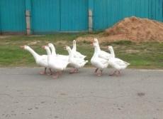 Гуси на дороге стали причиной деревенского ДТП