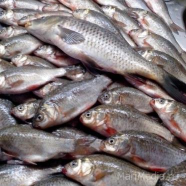 Продолжается голосование за лучшего рыбака на сайте Marimedia.ru