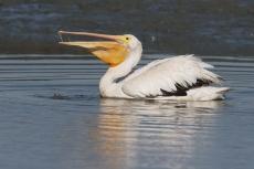 Откуда в Кокшайске пеликаны?