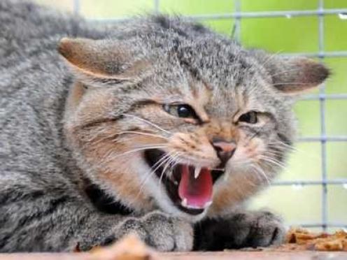 В Марий Эл бешеная кошка покусала хозяйку