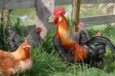 Житель Килемар украл у соседки трёх кур