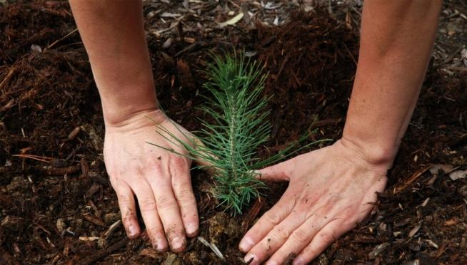 На Поляне песен в Йошкар-Оле появятся посадки 700 сосен