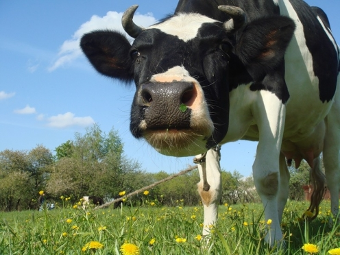 Житель Звениговского района застрелил соседскую корову