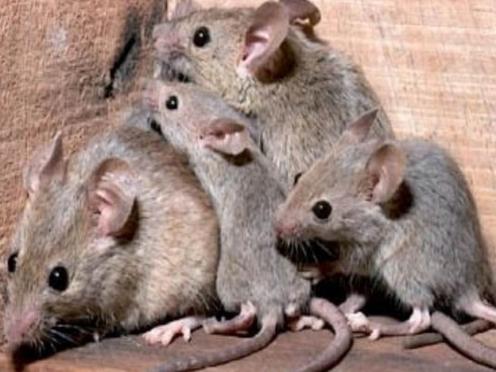 В Марий Эл началась миграция грызунов, в республике резко возросло число жертв ГЛПС