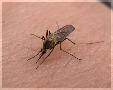 Почему в Марий Эл так много комаров?