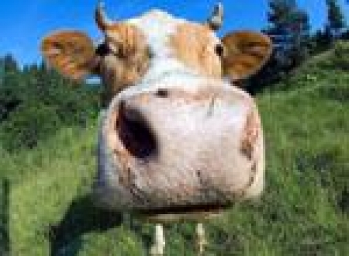 В Горномарийском районе Марий Эл бешеная корова покусала местных жителей