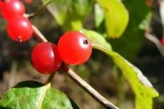 В Марий Эл семь подростков отравились дикими ягодами