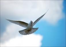 В Благовещение в небо Йошкар-Олы выпустят голубей