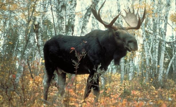 В Советском районе лось протаранил «Ладу Приору». Есть жертвы