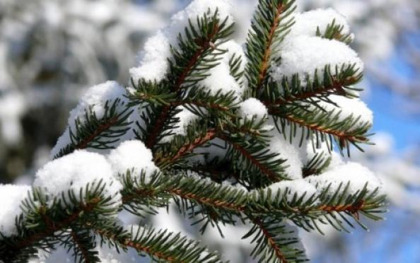 В Марий Эл вырубят около 6 000 «новогодних» елей