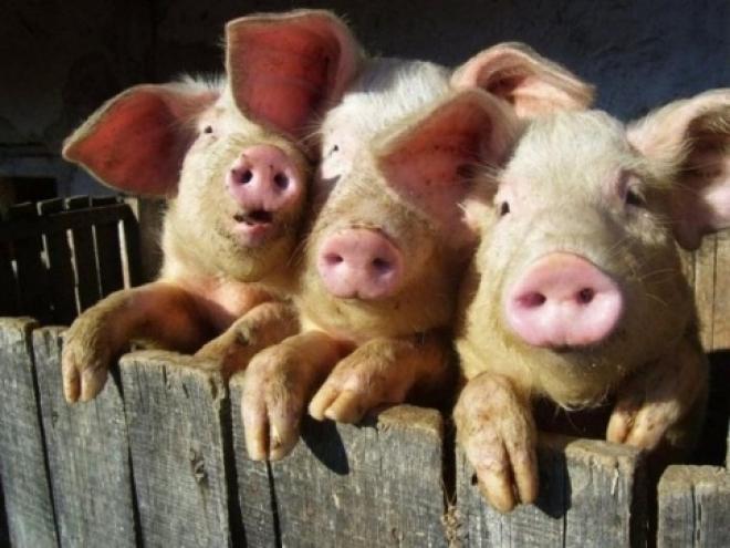 В Марий Эл поставили крепкий заслон африканской чуме свиней