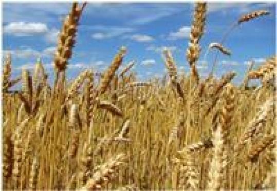 В Марий Эл ожидается урожай зерна в два раза больше прошлогоднего