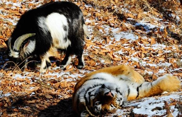 Козла Тимура решили отселить от тигра в соседний вольер