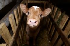 Безработные украли бычка и продали на мясо