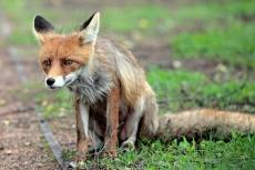 В Марий Эл орудуют бешеные лисы
