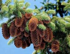 Мариэльские лесники заготовят более 100 тонн семян сосны и ели