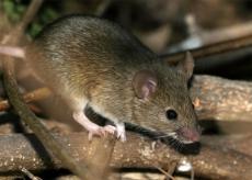 Четыре жителя Марий Эл подхватили «мышиную лихорадку»