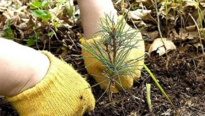 В Марий Эл высажено 5 млн лесных саженцев