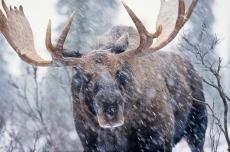 В Звениговском районе браконьеры убили лося