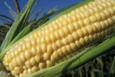 В России запретили американскую сою и кукурузу