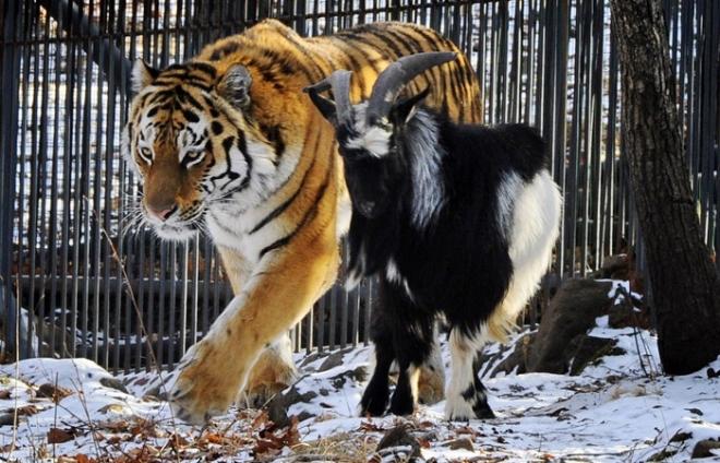 Тигр Амур устроил трёпку козлу Тимуру