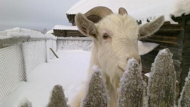 В Медведевском районе сгорели домашние животные — коза и козёл