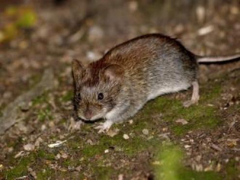 Клещи и мыши паразитируют на территории Марий Эл