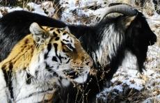 Жителей Приморского сафари-парка, тигра Амура и козла Тимура, расселили