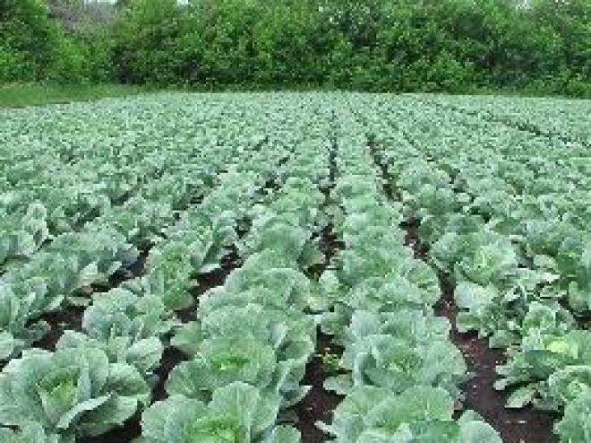 Горномарийские фермеры готовятся рубить капусту