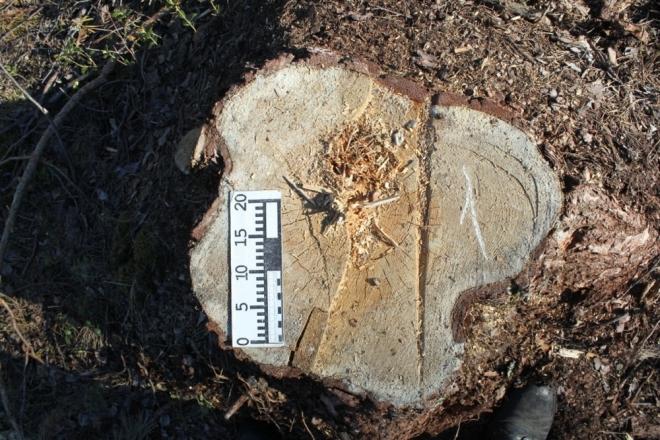 В Моркинском районе «чёрный лесоруб» спилил 26 деревьев