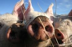 На ферме в Оршанском районе пожарные спасли 120 голов свиней