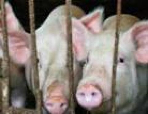 Жители Марий Эл будут питаться датской свининой