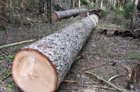 «Черного» лесоруба за семь срубленных деревьев могут на год лишить свободы