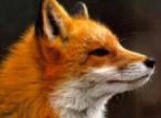 В Горномарийском районе Марий Эл активизировались дикие звери