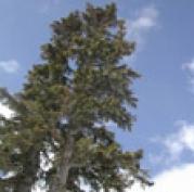 «Трест банно-прачечного и ритуального хозяйства города», организация, ответственная за установку главной новогодней ёлки республики, на сей раз будет выбирать дерево в атмосфере строжайшей секретности