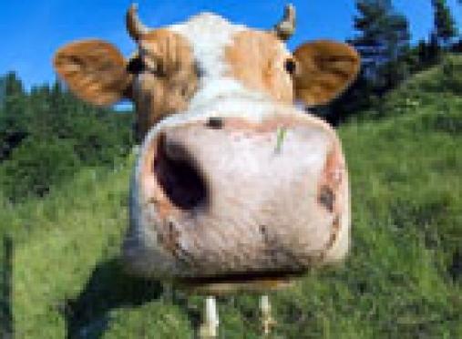 Жители Марий Эл пьют молоко от ещё не родившихся коров