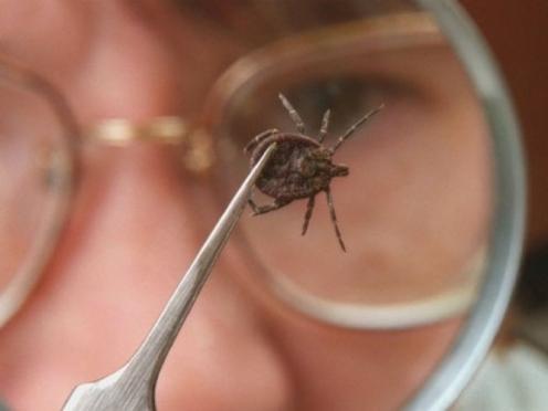 Больше сотни жителей Марий Эл пострадали от укусов клещей за неделю