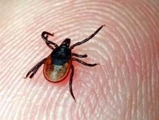 Еще 21 житель Марий Эл пострадал от укусов клещей