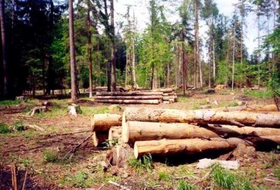 Две сотни незаконно спиленных деревьев «потянули» на условно-испытательный срок